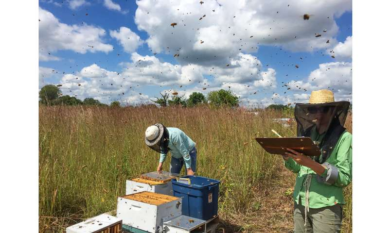 A little prairie can rescue honey bees from famine on the farm, study finds