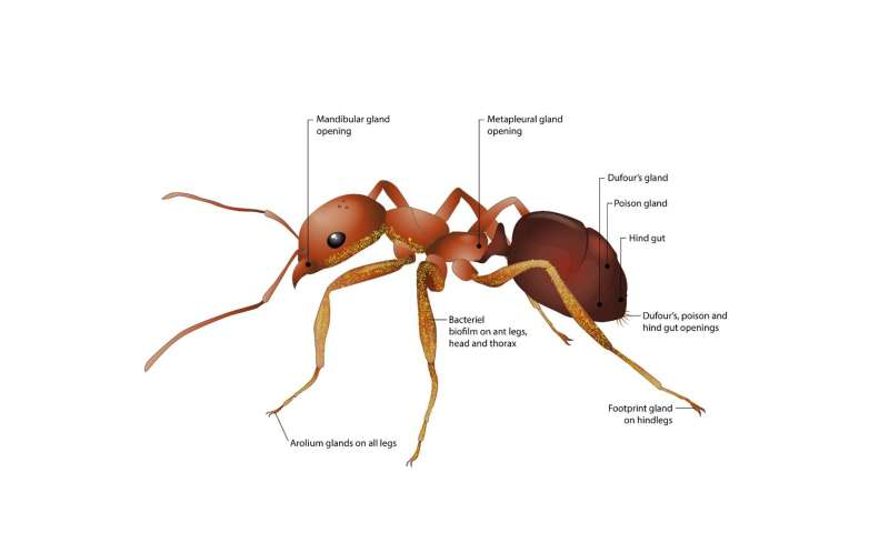 Ants fight plant diseases