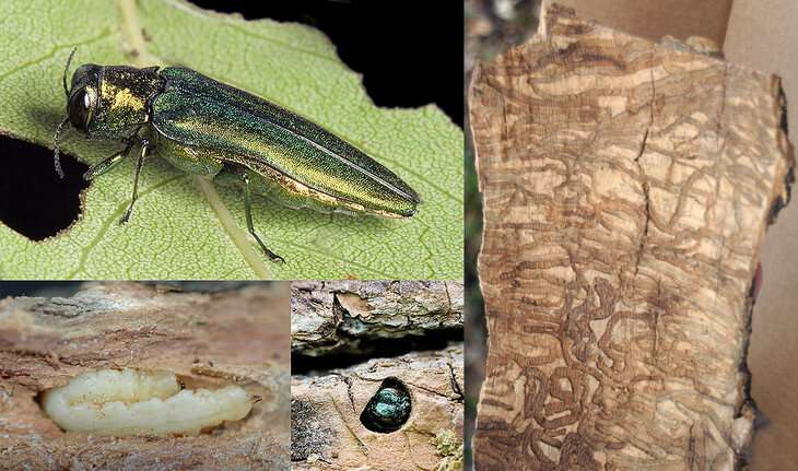 , Ash tree species likely will survive emerald ash borer beetles, but just barely
