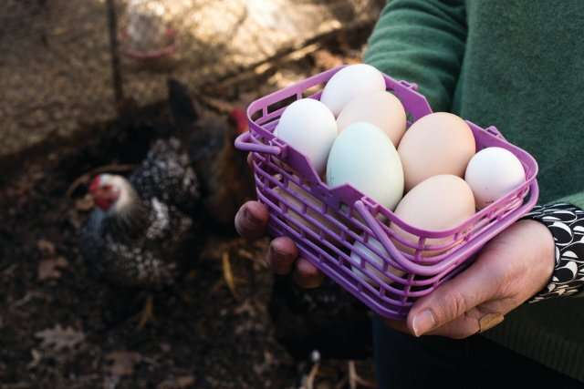 Backyard Chickens and the Risk of Lead Exposure