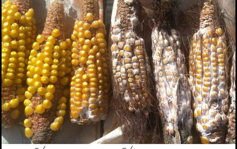 Biologists untangle growth and defense in maize, define key antibiotic pathways
