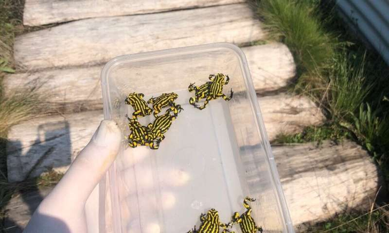 Can a special diet save the endangered southern corroboree frog?