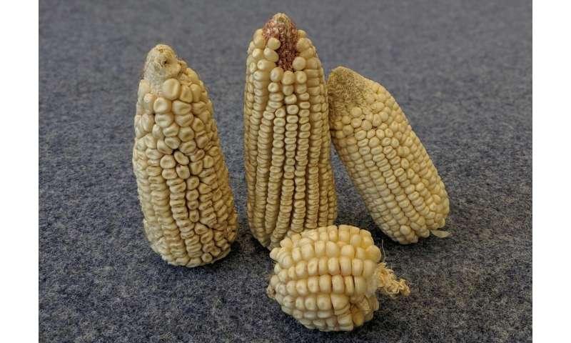 Barato como chips: identificación de genes vegetales para garantizar la seguridad alimentaria