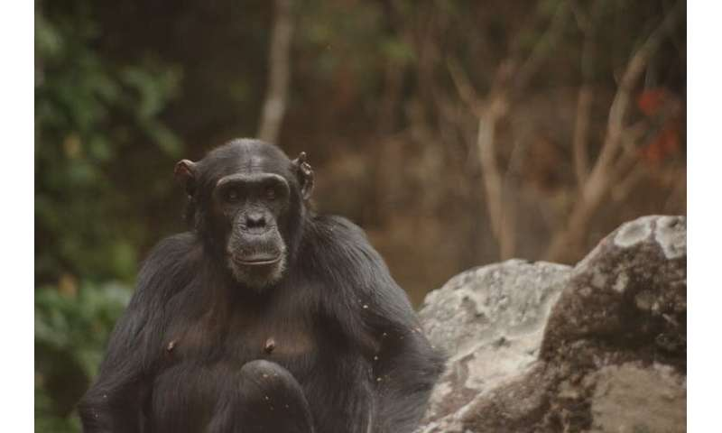Chimpanzees are being killed by poachers – researchers like us are on the frontline protecting them