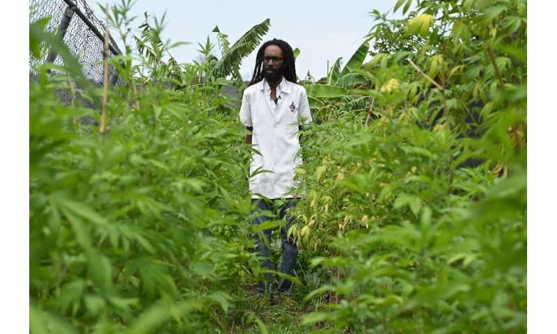 Dr Machel Emanuel and his landrace cannabis, which grew naturally in Jamaica before it disappeared as a result of human interven