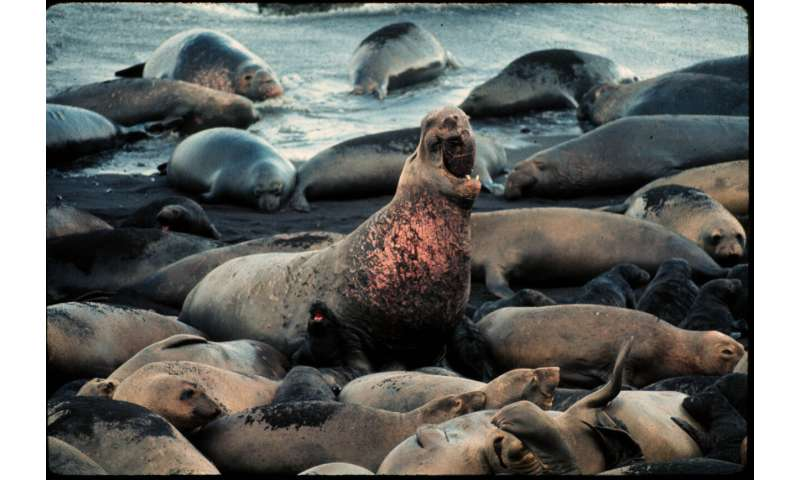 Elephant seal 'supermoms' produce most of the population, study finds