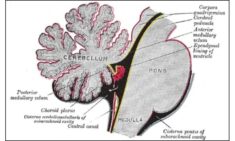Exploring an unsung part of the brain: the choroid plexus