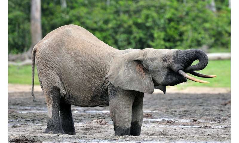 Forest elephants are allies in the fight against climate change, finds research