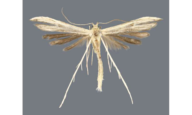 Four new species of plume moths discovered in Bahamas