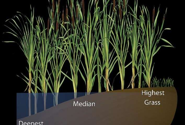 Fungi living in cattail roots could improve our picture of ancient ecoystems