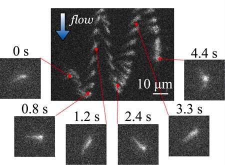 How bacteria swim against the flow