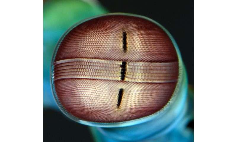 How mantis shrimp make sense of the world