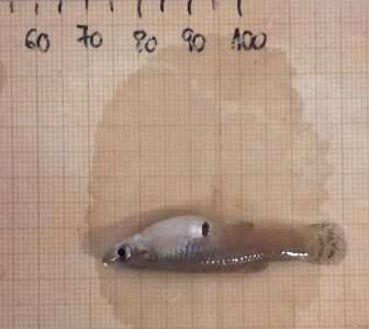 How to prevent mosquitofish from spreading in water ecosystems