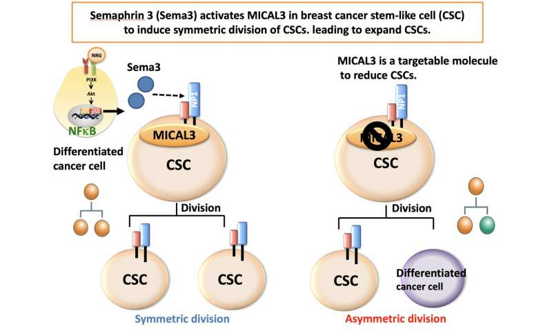 Important signaling pathway in breast cancer revealed