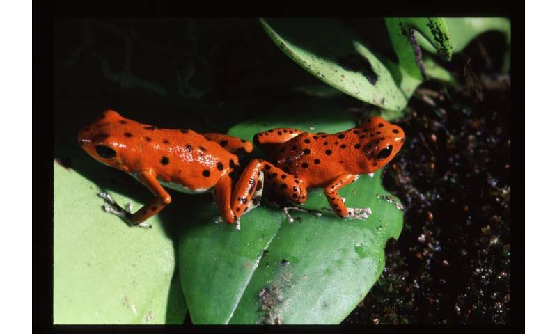 Imprinting on mothers may drive new species formation in poison dart frogs
