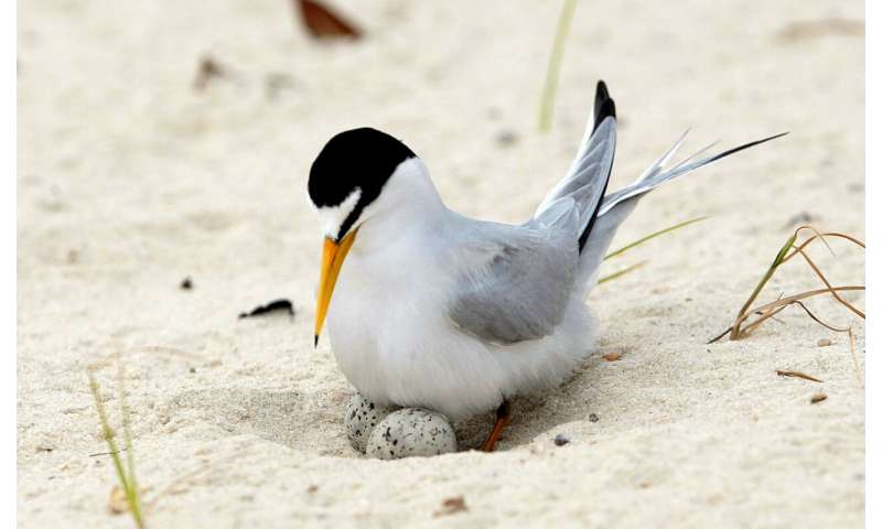 Lots of good terns: Bird ready to fly off endangered list