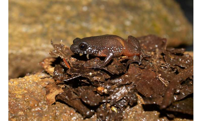 Meet India's starry dwarf frog, lone member of newly discovered ancient lineage