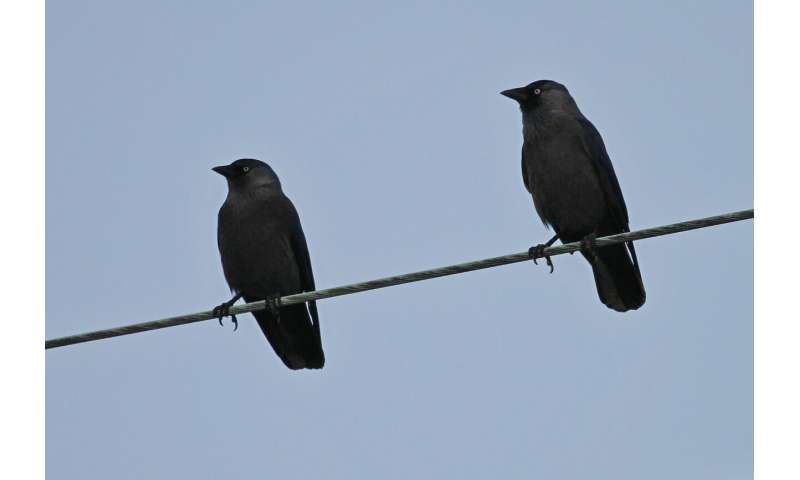 Mob mentality rules jackdaw flocks
