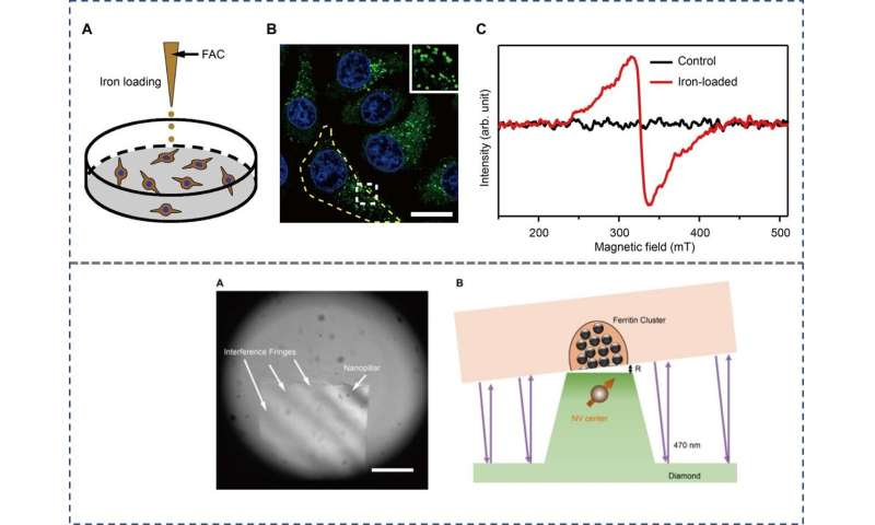 Nanoscale magnetic imaging of ferritin in a single cell