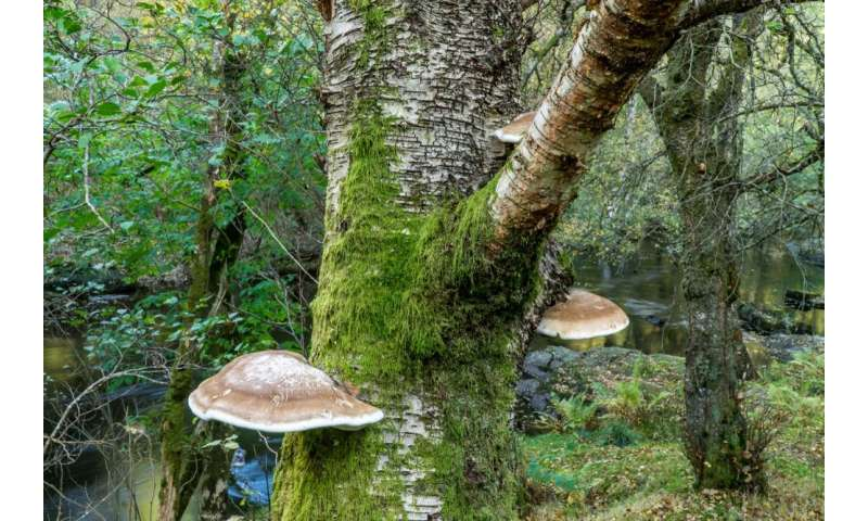 Nature's first aid kit: a fungus growing on the side of birch trees