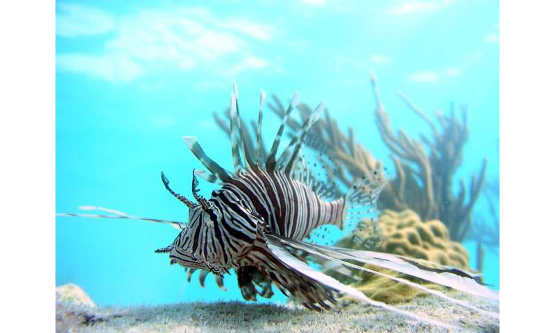 New model predicts impact of invasive lionfish predators on coral reefs