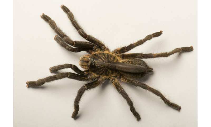 New tarantula species from Angola distinct with a one-of-a-kind 'horn' on its back