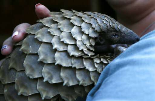 Rare pangolins languish in China wildlife rescue system