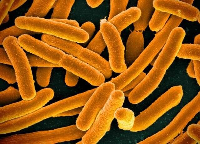 Researchers create 'shortcut' to terpene biosynthesis in E. coli