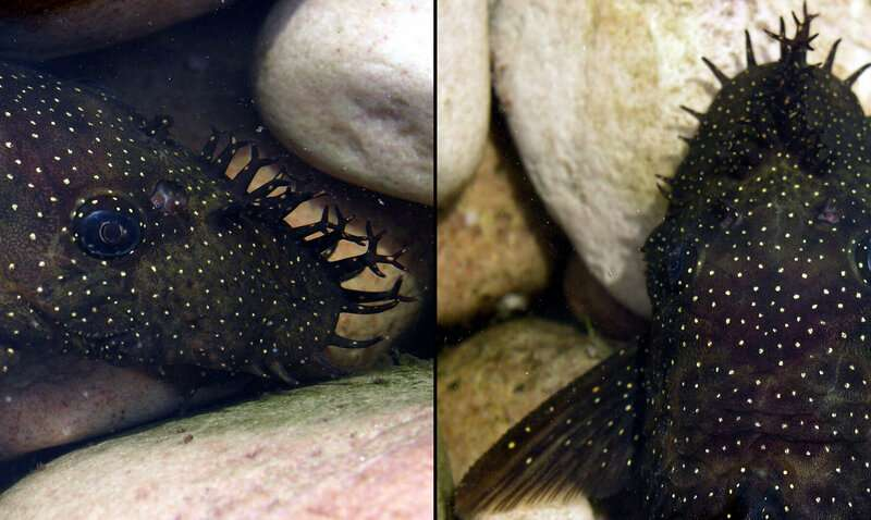 Six new species of hideously adorable tentacle-nosed catfish discovered in Amazon