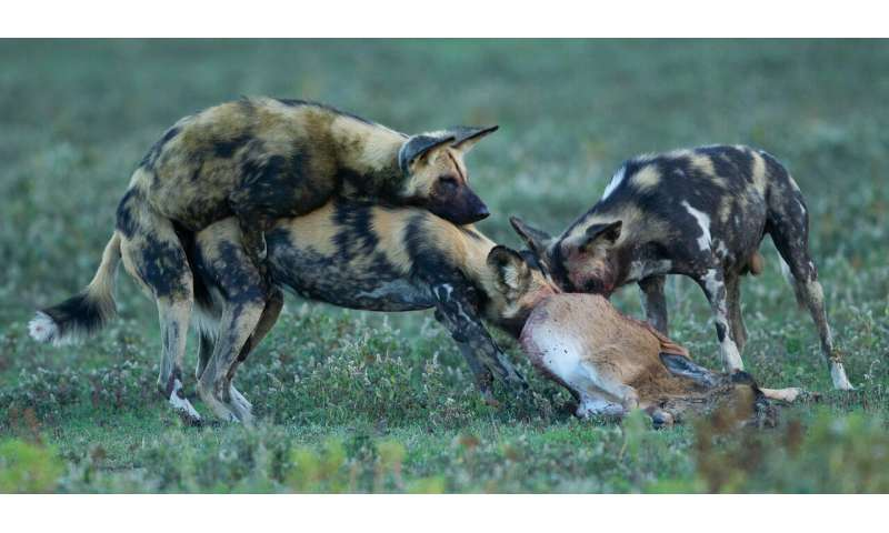 Solving the mystery of Serengeti's vanishing wild dogs
