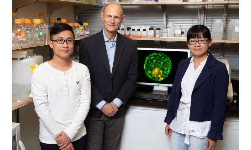 Stem cell study offers new way to study early development and pregnancy