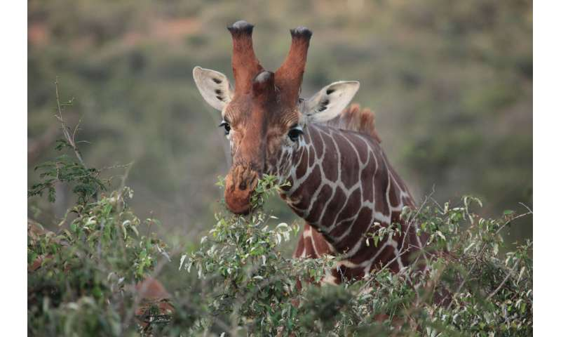Study of African animals illuminates links between environment, diet and gut microbiome