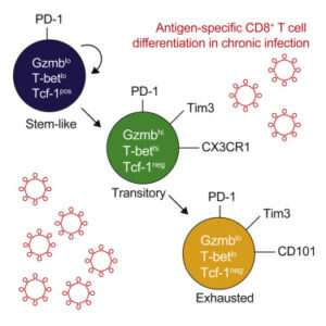 Transition to exhaustion: clues for cancer immunotherapy
