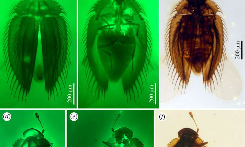 Two tiny beetle fossils offer evolution and biogeography clues