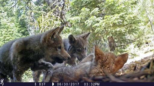 US plans end to wolf protections; critics say it's premature (Update)