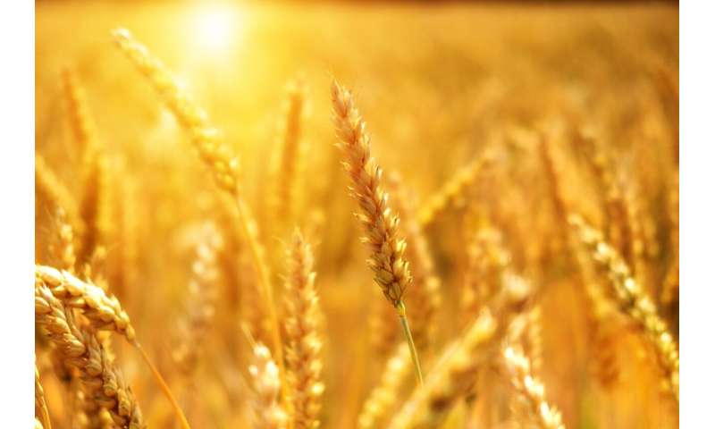 Researchers discover high levels of selenium in wheat grown in selenium-rich areas