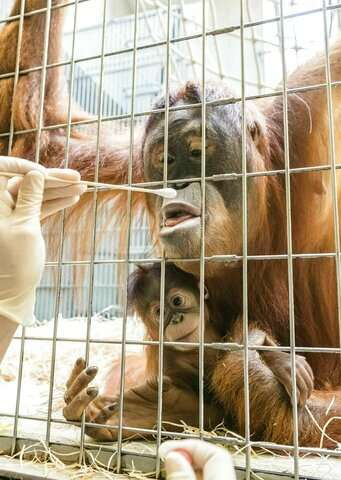 Who's the daddy? Surprise in Swiss orangutan paternity test