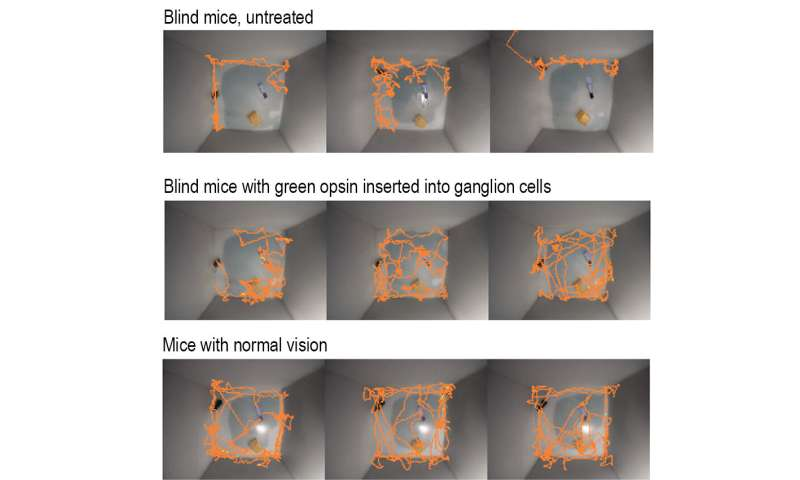 With single gene insertion, blind mice regain sight