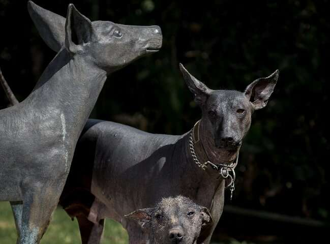 Xoloitzcuintles were able to survive largely thanks to the mountains in southern Mexico, where they lived in the wild before bei