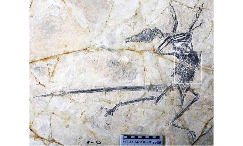 New species of lizard found in stomach of microraptor