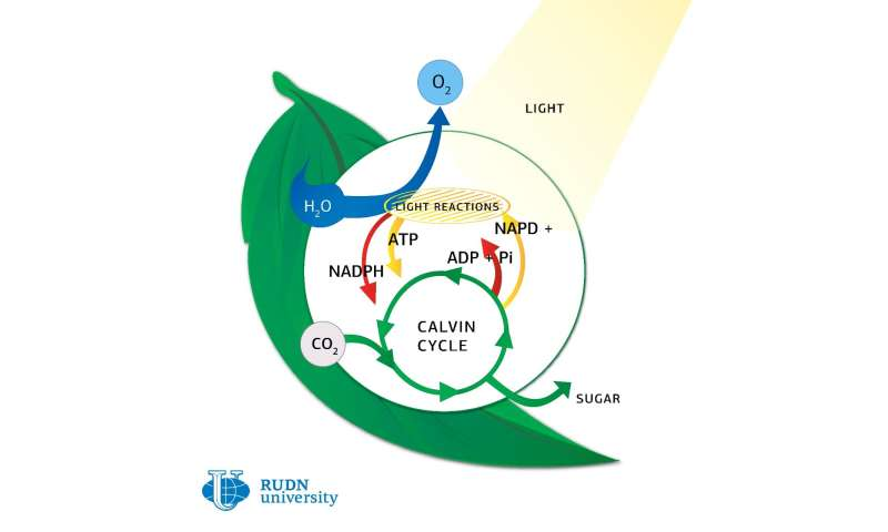 RUDN University biologist developed new model for analyzing photosynthesis in vivo