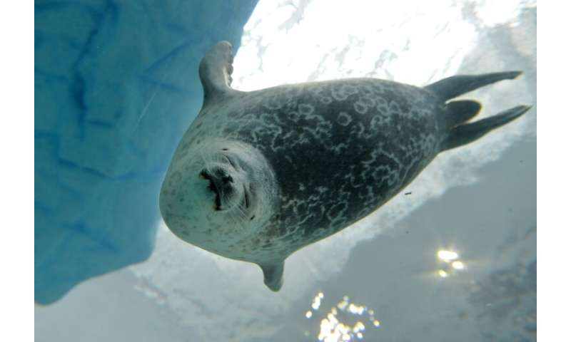 Researchers say the apparent doubling down by ringed seals on their traditional hunting grounds despite the shifting Arctic clim