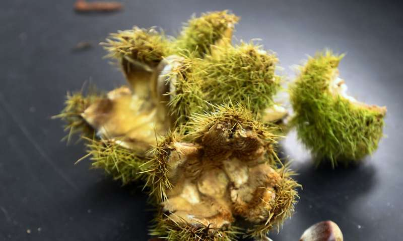 High-tech chestnuts: US to consider genetically altered tree