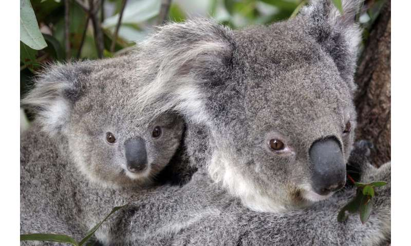 Conservationists fear hundreds of koalas died in wildfires