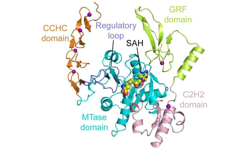 Scientists crack structure of a novel enzyme linked to cell growth and cancer