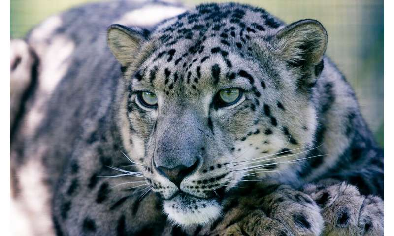 Study reveals potential new disease threats for wild snow leopards