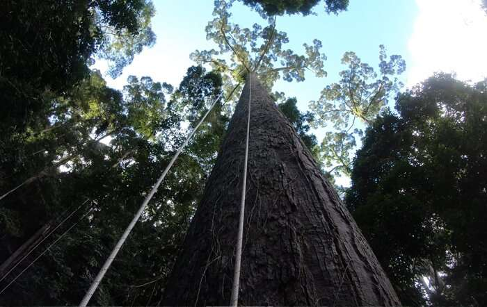 Scientists discover, climb and describe the world's tallest tropical tree