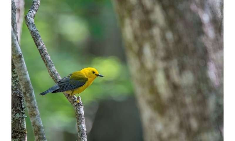 Study reveals key locations for declining songbird
