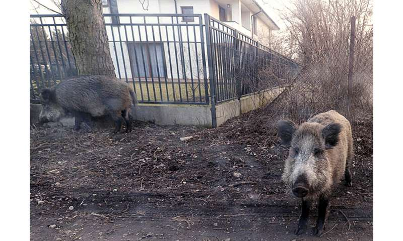 African swine fever kills more than 20 wild boar in Poland