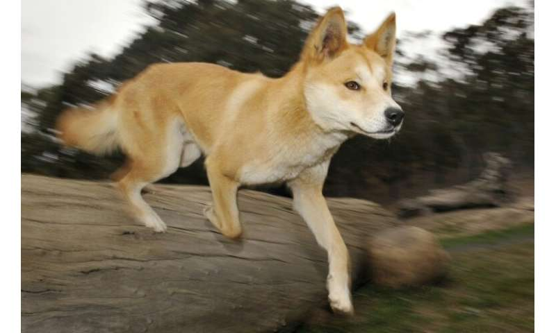 Authorities have warned visitors in the past that dingoes are wild animals and need to be treated with caution